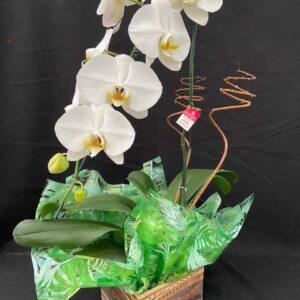 Phalaenopsis Branco