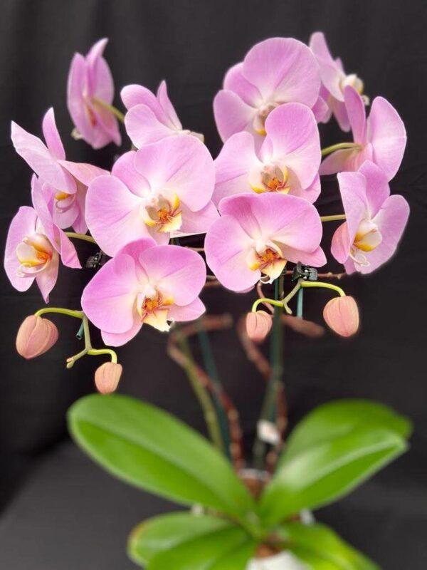 phal lilas Rachel Flores