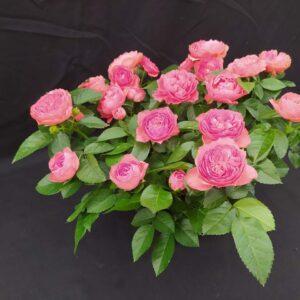 Roseira Cuia 21