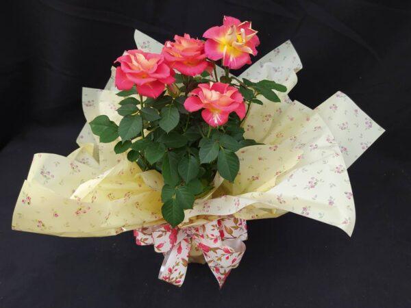 rosas Rachel Flores