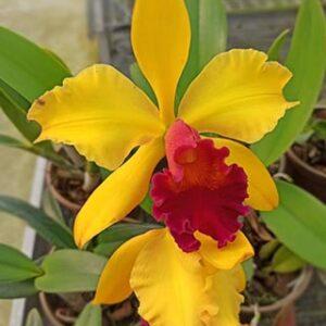 Cattleya pote 14